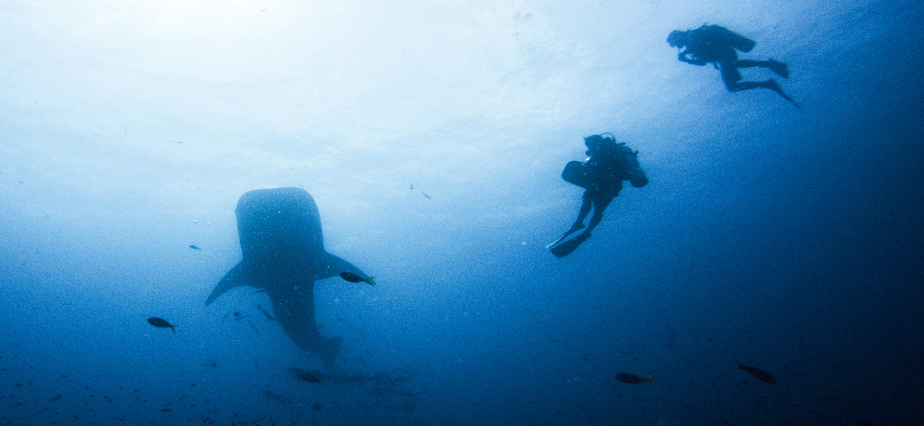 whale sharks at sail rock